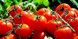 עגבניה אורגנית